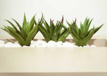 7 Razones Para Usar Aloe Vera Para La Diabetes